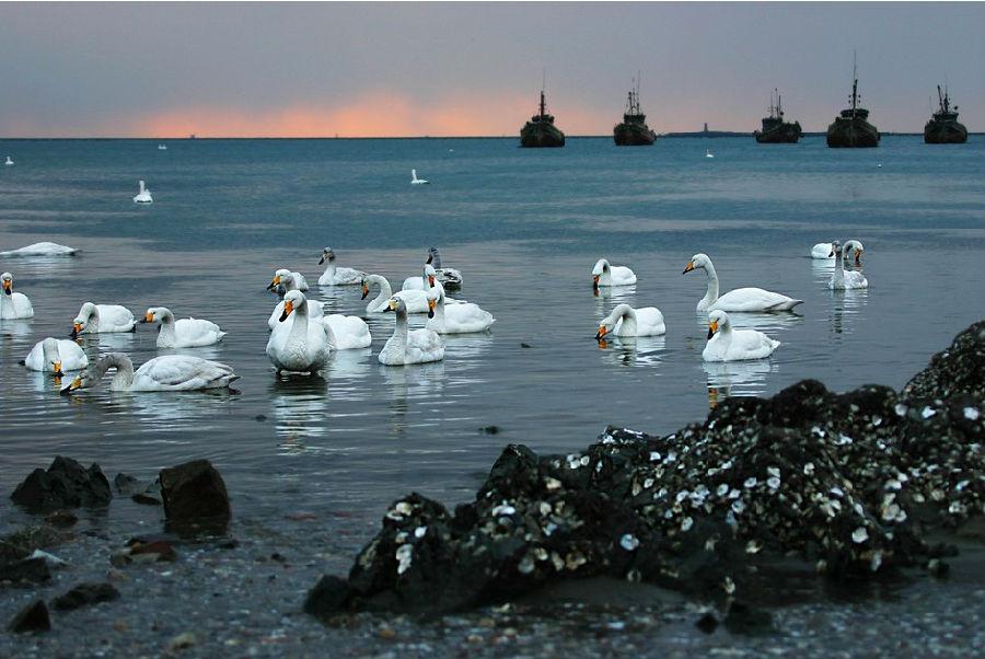 秋冬的威海气候宜人,是螃蟹肥了的时候,更是天鹅男女们飞来荣成天鹅湖过冬的时候。可以看到成千上万的天鹅在湖面嬉戏,整个湖面洁白一片的壮观景象。 在荣成石岛湾,也正热热闹闹地举行着各种钓鱼捕蟹的活动,吃着自己抓来的海鲜,观赏渔民的民俗活动,也是当季的一大热点。           线路指导: 第一天 天鹅湖这里是中国最大的天鹅湖,世界上四大天鹅湖之一。每年从十一月份开始,天鹅、野鸭、大雁不远万里来此过冬。看天鹅、观雪景,雪白一片。 荣成石岛湾各种钓鱼比赛正热热闹闹地开展着,有画村、花村民俗游,还有中国最大的自